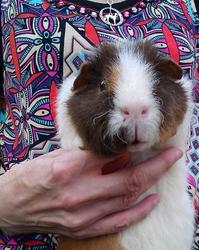 Tito, rongeur Cochon d'Inde