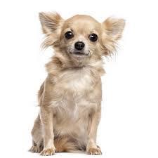 Tito, chien Chihuahua