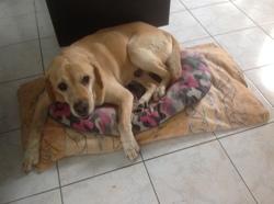 Tito, chien Labrador Retriever