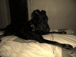 Tito, chien Beauceron