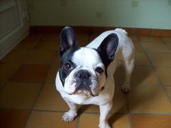 Tito, chien