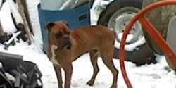 Titoche, chien Boxer