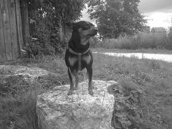 Titoo, chien Pinscher