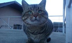 Titoon, chat Européen