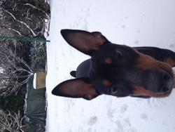 Titou, chien Pinscher
