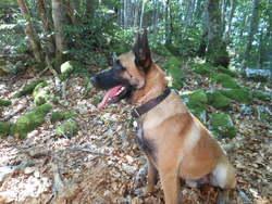 Titou, chien Berger belge