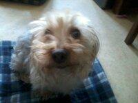 Titou, chien Yorkshire Terrier