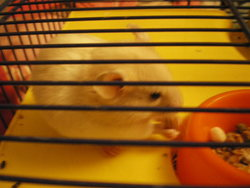 Titou, rongeur Hamster