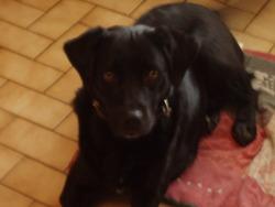 Titou, chien Labrador Retriever