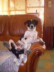 Titou, chien Braque d'Auvergne