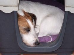 Titou, chien Fox-Terrier