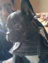 Titou, chien Bouledogue français