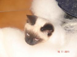 Titou, chat Siamois