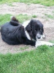 Titoune, chien Border Collie