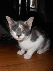 Titounne, chat Européen
