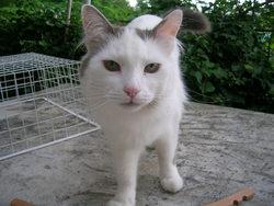 Titoune, chat Européen