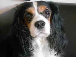 Titoy, chien Cavalier King Charles Spaniel