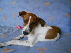 Titus, chien Jack Russell Terrier