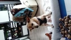 Titus, chien Chihuahua