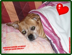 Titus, chien Boxer