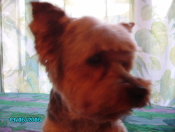 Titus, chien Yorkshire Terrier
