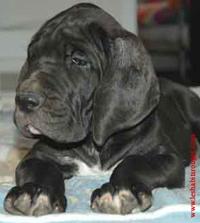 Titus, chien Dogue allemand