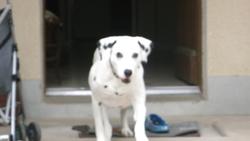 Titus, chien Dalmatien