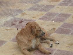 Titus, chien Terrier tibétain