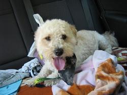 Titus, chien Caniche