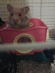 Titus, rongeur Hamster