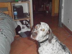 Titus, chien Braque du Bourbonnais