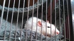 Titus, rongeur Rat