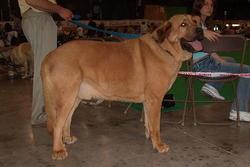 Tivisio, chien Mâtin espagnol