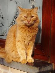 Tixi, chat Angora turc