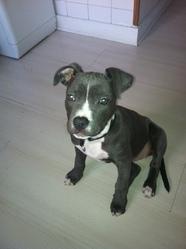 Tiyanah, chien Staffordshire Bull Terrier