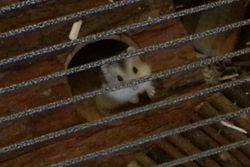 Tizouille, rongeur Hamster