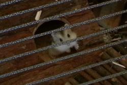 Tizouille, rongeur Hamster