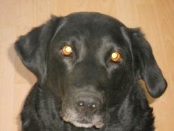 Tizza, chien Labrador Retriever