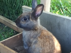 Cookie , rongeur Lapin