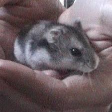 Tobby, rongeur Hamster