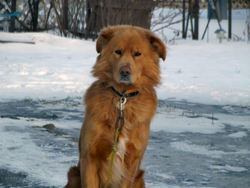 Tobby, chien Golden Retriever