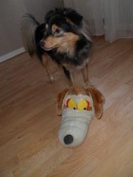 Tobby, chien Berger des Shetland