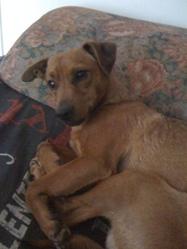 Tobby, chien Pinscher