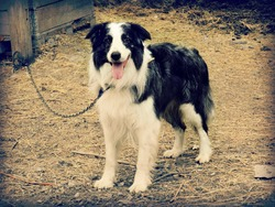 Tobby, chien Border Collie