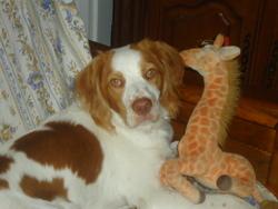 Tobby, chien Épagneul breton