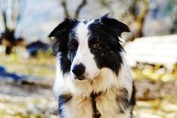 Tobby, chien Border Collie