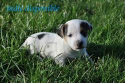Tobby, chien Jack Russell Terrier