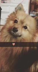 Tobby, chien Schnauzer