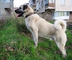 Tobi, chien Berger d'Anatolie