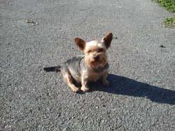 Tobi, chien Yorkshire Terrier